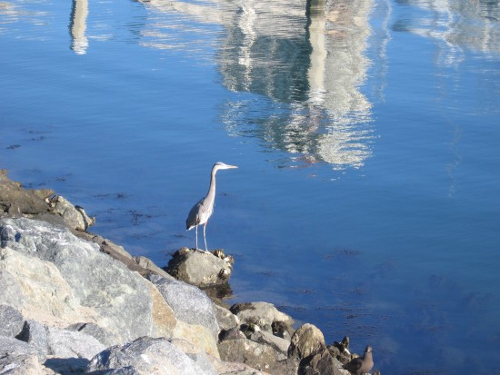Heron stands on rocks beside San Diego Bay.