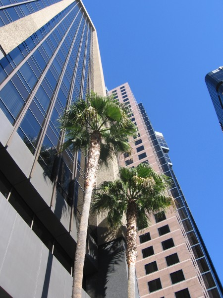 Palm trees rise beside high downtown skyscrapers.