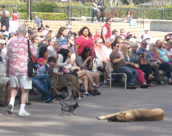 Great dane takes a nap while a huge crowd gathers.