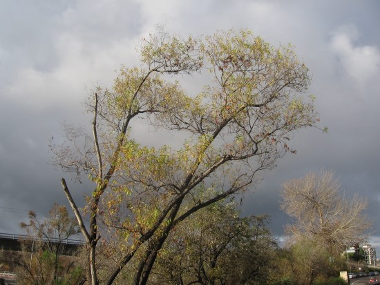 Tree by San Diego River beneath passing rain clouds.