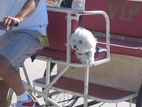 Small cute dog enjoys a ride on a San Diego pedicab.