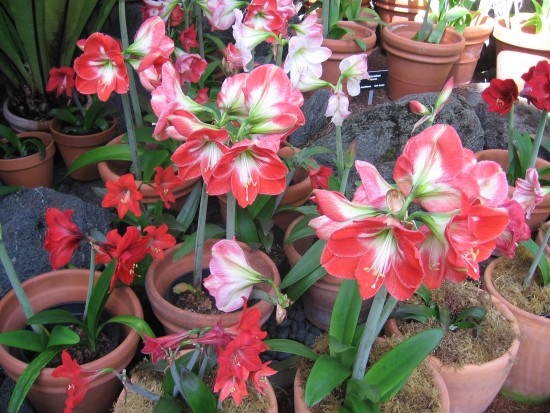 Lots of cheerful, colorful Hippeastrum hybrids.
