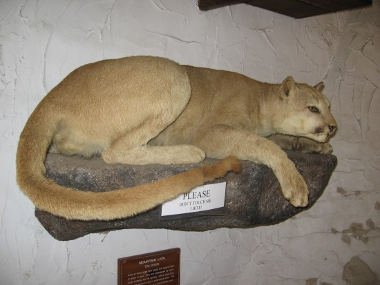 Mountain lion patiently watches visitors to the Lodge.