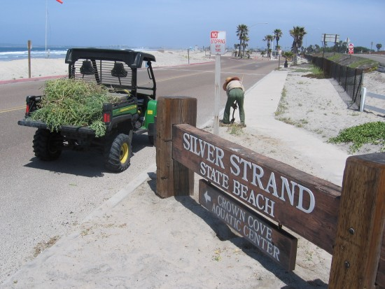 Park ranger removing weeds near beach entrance.