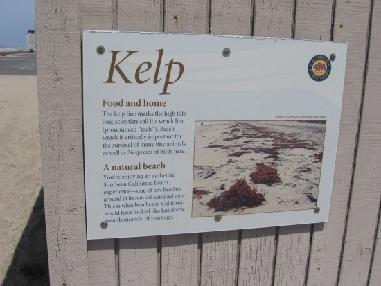 Kelp on natural beaches is the home of tiny wildlife.