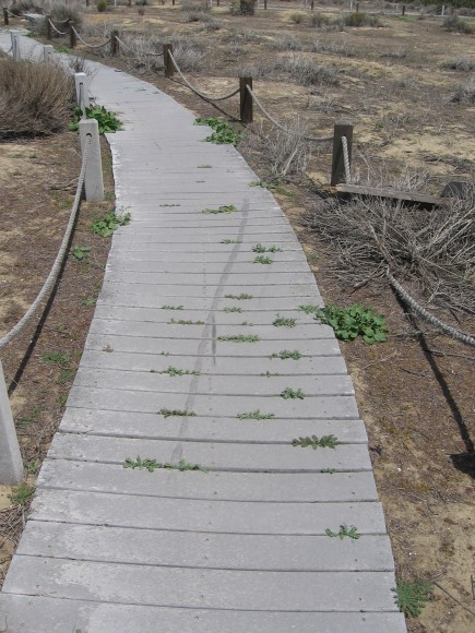The wood plank nature trail is in disrepair.