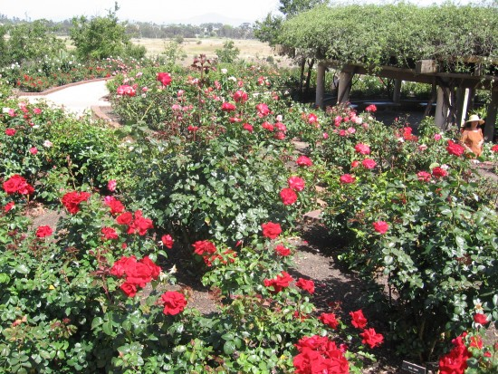Hundreds of roses surround a large, shady gazebo.