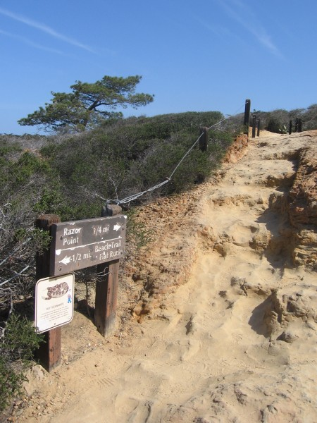 Endangered Torrey pine seen beyond fork in the trail.