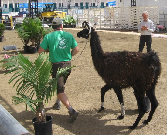 Judge scores llama in a ring near livestock barn.