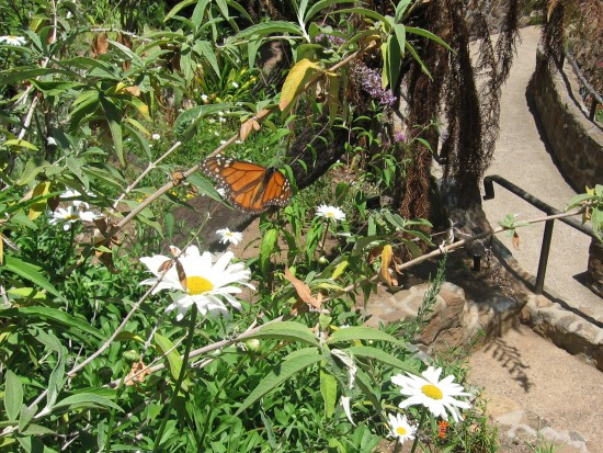 Butterfly among flowers in the small Zoro Garden.