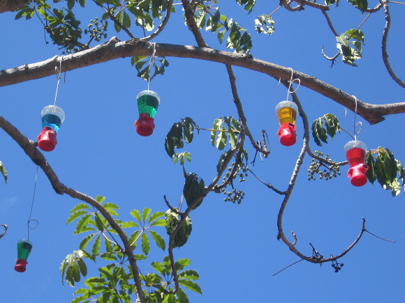 Hummingbird feeders in a tree directly behind the San Diego Museum of Art.