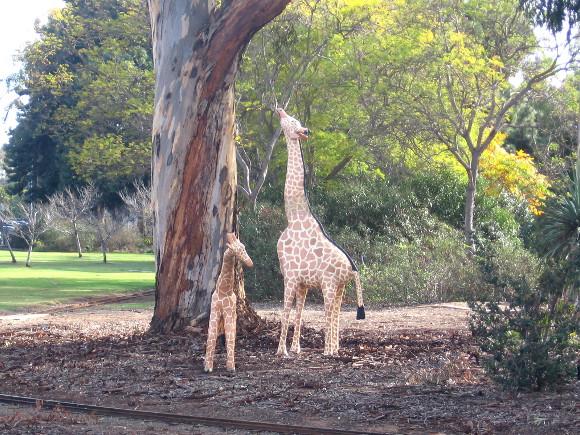 Giraffes seem to be enjoying some eucalyptus trees nearby.