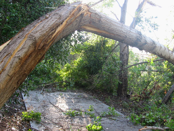 Large trees by San Diego River snapped by sudden violent microburst winds.