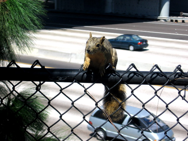 Squirrel perched on fence above Interstate 5 at edge of Tweet Street park.