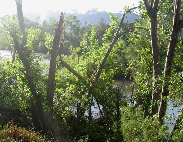 San Diego River seen behind devastated trees near walking path.