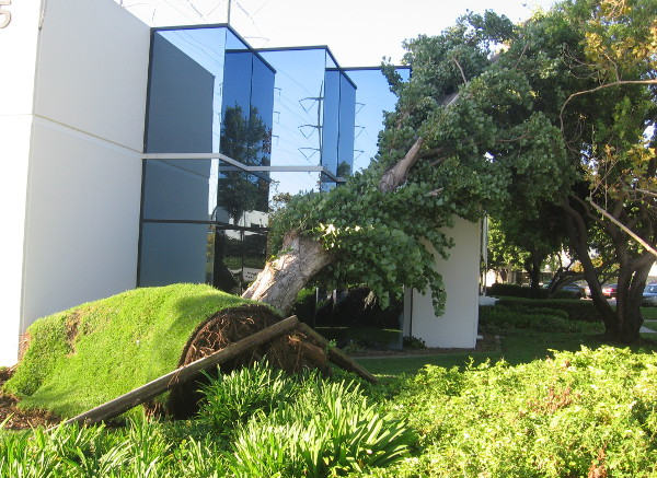 Many trees around the developed parts of Mission Valley were also uprooted!