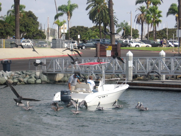 A fisherman has arrived on a boat and he's tossing leftover bait to pelicans and gulls.