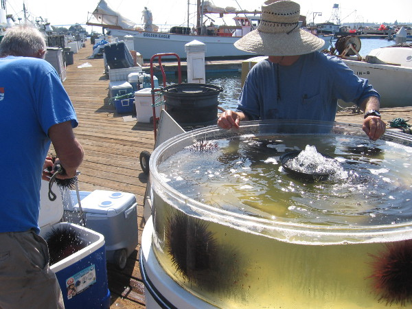 Fishermen sort sea urchins from large tank, to be sold at nearby public fish market.