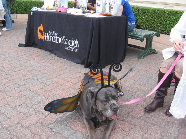 Fiona the Humane Society mastiff hangs out in Spreckels Organ Pavilion.