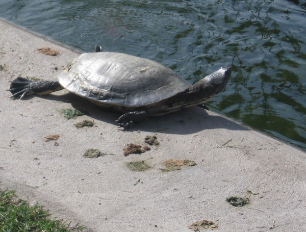Turtle comes out of the water to enjoy a bit of San Diego sunshine!