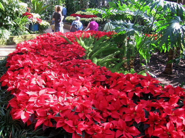 Huge, glorious poinsettia display inside the popular Botanical Building.