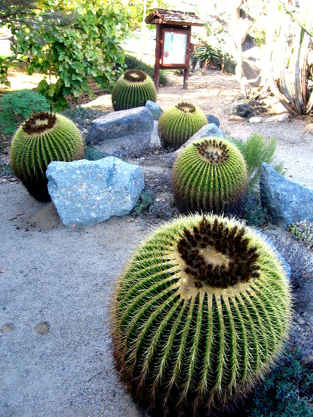 Some fat barrel cacti in a large desert-like garden in Balboa Park.