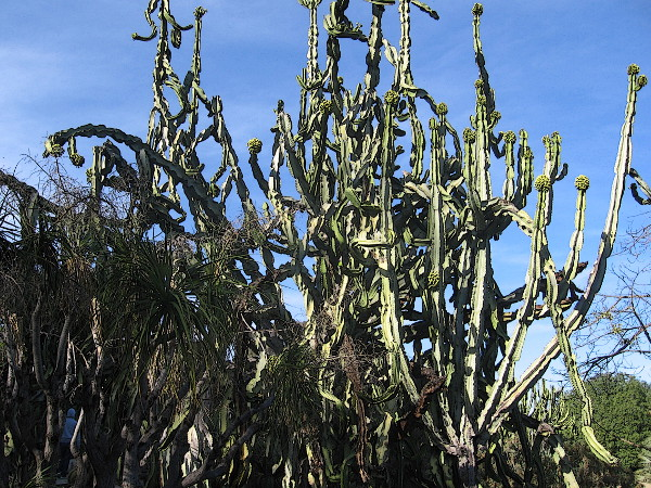 This huge tangled cactus visible from Park Boulevard is the craziest thing I ever saw!