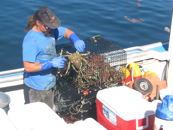 Fisherman checks live crab on top of a trap.