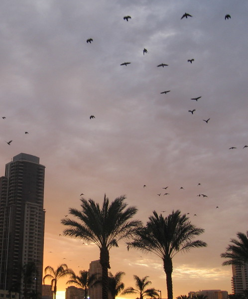 Birds take flight above palm trees in downtown San Diego.