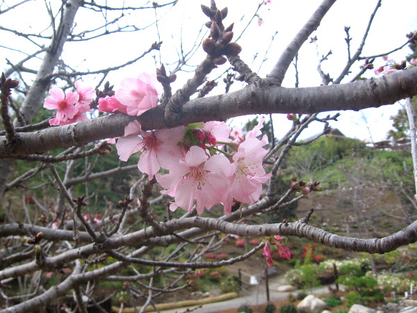Beautiful cherry blossoms have opened at the Japanese Friendship Garden!