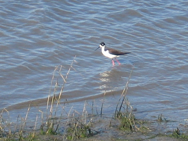 Black-necked stilt walks through the water, perhaps watching for a meal.