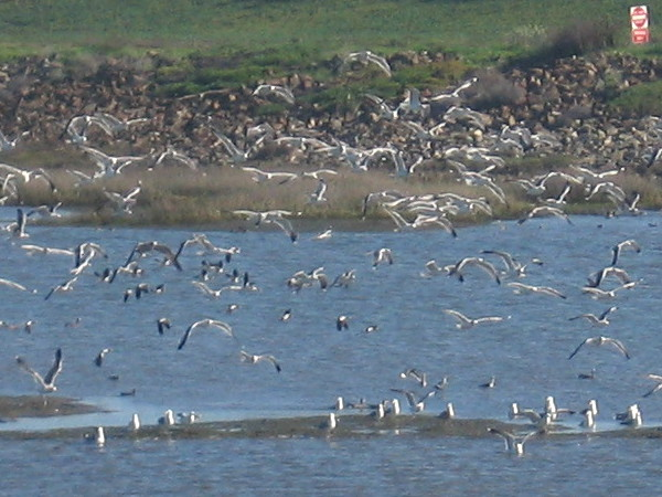 Huge flock of seagulls takes flight from mud flat near mouth of San Diego River.