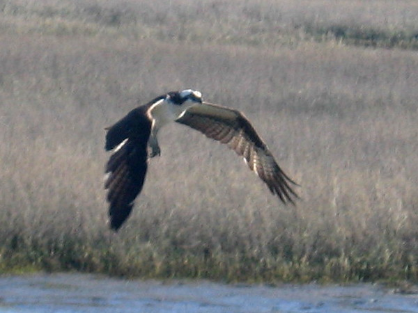 A fish-hunting osprey flies above the San Diego River estuary.