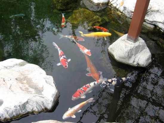 The koi are colorful and curious. They seemed interested in my camera!