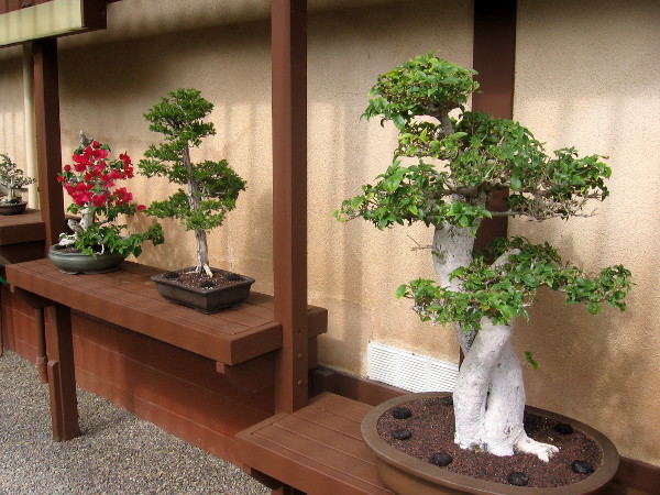 Perfectly pruned bonsai includes a bright red bougainvillea!