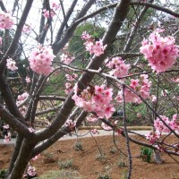 Cherry blossoms at Japanese Friendship Garden.
