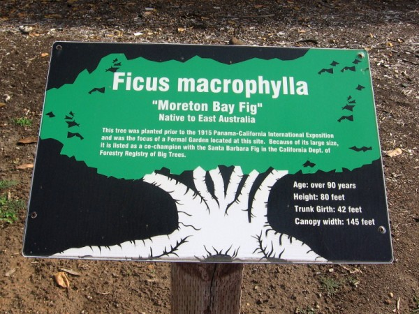 Sign in Balboa Park describes Ficus macrophylla, the Moreton Bay Fig.