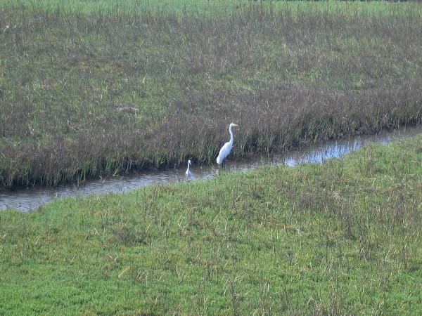 Two great egrets in San Diego River Estuary not far from the mural project!
