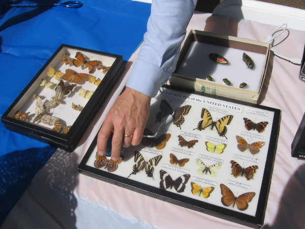 Pointing out a butterfly in a displayed collection.