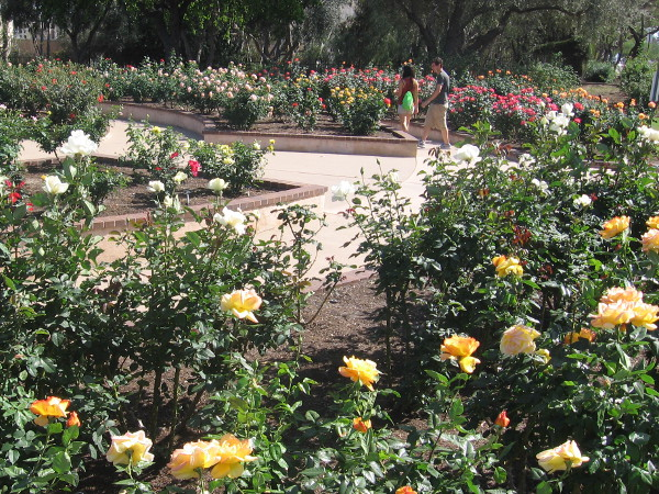 On a sunny Spring Sunday, a couple walks slowly through the south part of beautiful Balboa Park rose garden next to Park Boulevard.