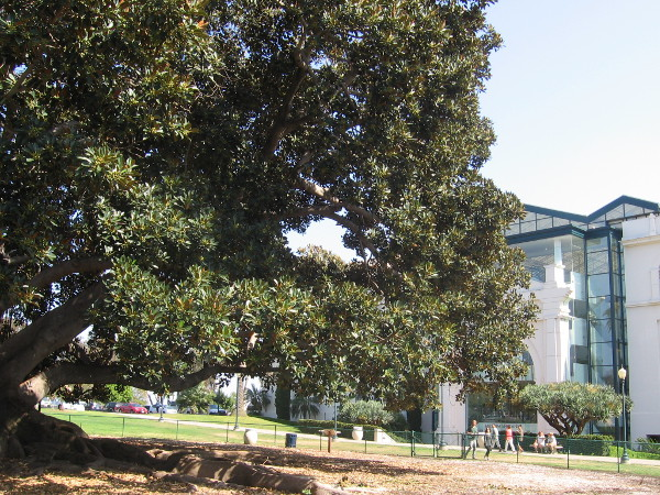 Huge Moreton Bay Fig tree and the San Diego Natural History Museum.