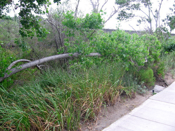 This fallen tree is now growing horizontally like a hedge along a Mission Valley sidewalk!