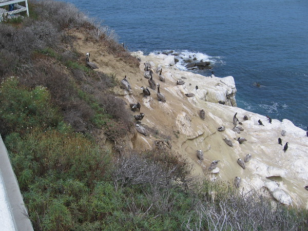The rocky cliffs along Coast Boulevard are the home of brown pelicans, sea gulls and double-crested cormorants.