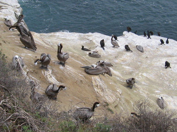 Long-beaked pelicans and black cormorants have a rest in the warm sun between diving and hunting for fish.