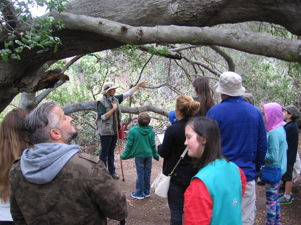 We pause under a coast live oak, which produces acorns and shade valued by the native Kumeyaay.