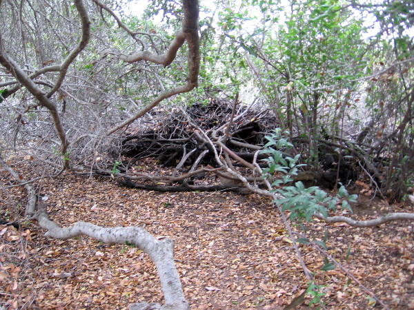 Large nest created by a woodrat (also known as pack rat). The Kumeyaay would bang a nest with a stick and hope to capture a snake, to eat.