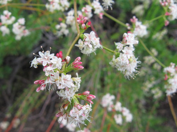 These tiny pinkish white flowers are flat-top buckwheat. Their tiny seeds are edible. The blooms attract butterflies.