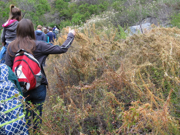 Dodder is an orange colored parasitic plant. According to Kumeyaay legend, a woman who failed to guard a camp against invaders ran away, and some of her hair snagged in the bushes!