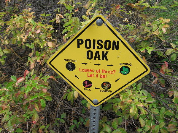 A patch of poison oak! Leaves of three, let it be!