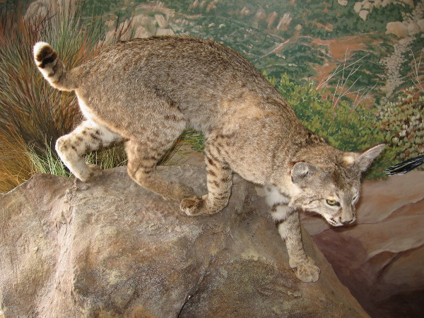 The bobcat is often encountered in the hills and mountains of San Diego County. I once saw one while hiking around Mount Laguna!